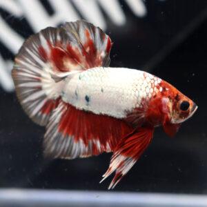 Copper-Dragon Fancy HMPK Male