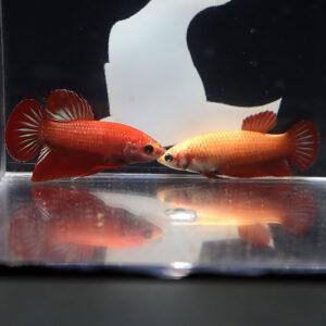 Hybrid Wild Red Betta imbellis Pair