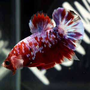 Red Freckled Koi HMPK Male