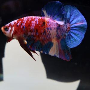 Nemo Galaxy Koi HMPK Male